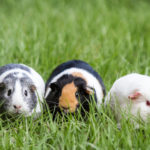 Guinea Pigs at Weisberg Stables